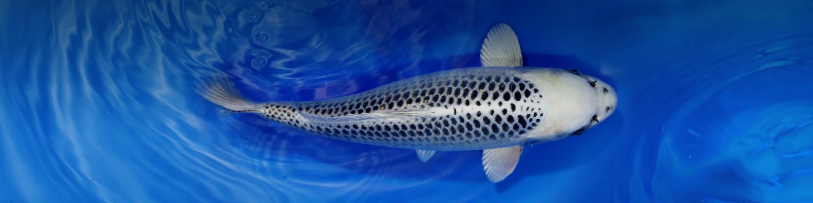 koi online shop koi karpfen kaufen kois fisch importe aus japan