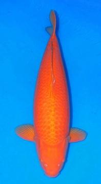 Oranje Karashigoi 86cm Crownfish Female Show Quality