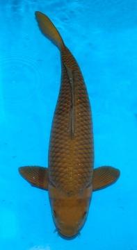 Chagoi Crownfish 72cm new Sansai Female