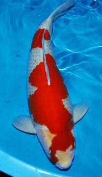 Kohaku Tamaura 82cm 7J Female