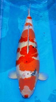 Sanke Momotaro 78cm Female