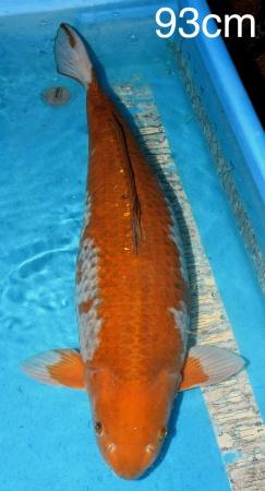 Ochiba Kawai 93cm Female