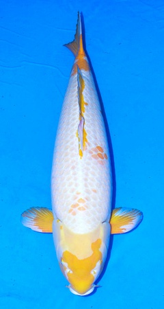 Koyo 86cm Crownfish Female Show Quality