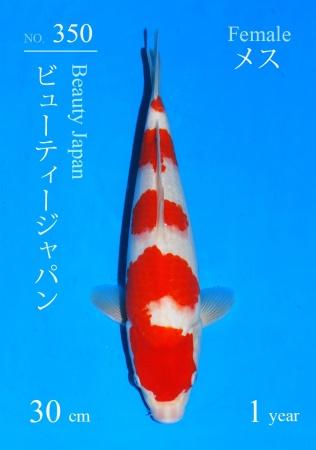 Kohaku Sakai FF 30cm Tosai Female