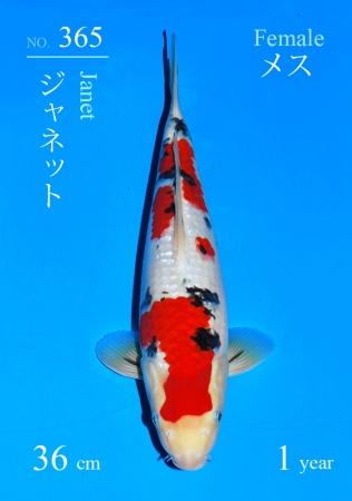 Sanke Sakai FF 36cm Tosai Female - VERKAUFT!