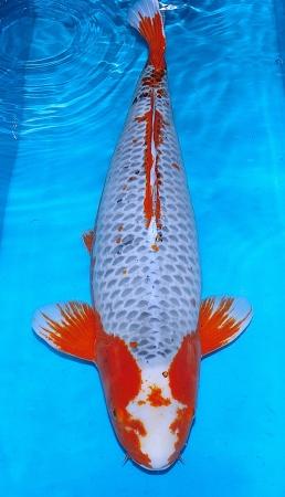 Asagi Oya 80cm Female