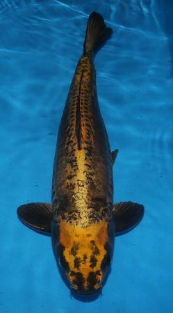 Dainichi Botan 58cm Sansai Female