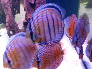 T5 Coral Light Fiji Purple 24 W