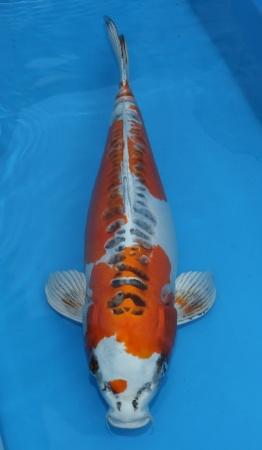 Doitsu Kujaku 54cm Female
