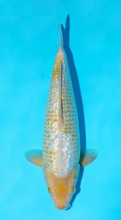 Golden Corn Taniguchi 33cm Tosai Female incl Mudpond - VERKAUFT!