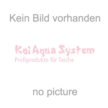 Ginrin Karashigoi Chrownfish 79cm Female Show Quality - Statt 8500€ - VERKAUFT!