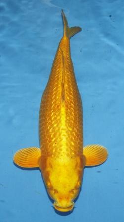 Ginrin Yamabucki Crownfish 45cm Nisai Female High Quality