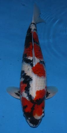 Goromo Showa Dainichi 70cm Gosai Female