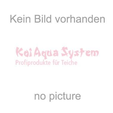 Goshiki Aoki 59cm Male - Verkauft!