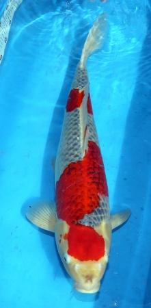 Goshiki Izumyia 63cm Female