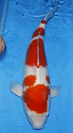 Kohaku Tamaura 70cm 6J Female - VERKAUFT!