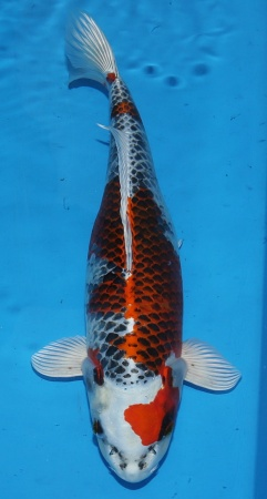 Kujaku Ikarashi 43cm Sansai Female