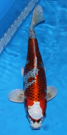 Kujaku Ikarashi 47cm Sansai Male