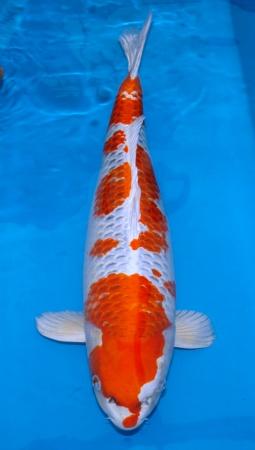 Kujaku Omosako 65cm Sansai Female