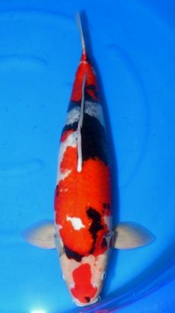 Sanke Crownfish 64cm Sansai Female