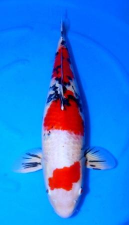 SPECIAL DEAL - Sanke Crownfish 73cm Yonsai Female High Quality
