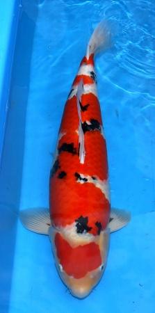 Sanke Migita 70cm Female