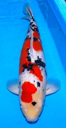 Sanke Momotaro 62cm Yonsai Female