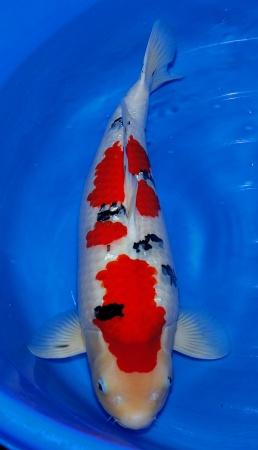 Sanke Sakai FF 65cm Sansai Female