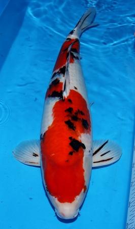 Sanke Sakai FF 67cm Sansai Female