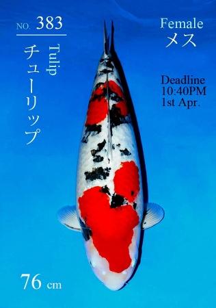 Sanke Sakai FF 76cm Yonsai Female Show Quality