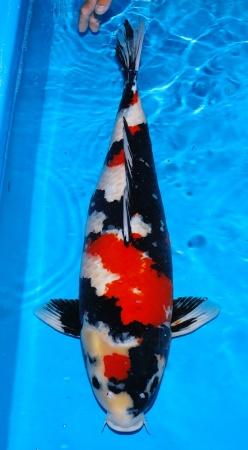 Showa Isa 65cm Female