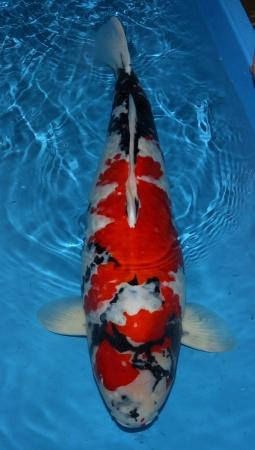Showa Isa 80cm 6J Female