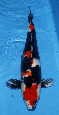 Showa Kase 65cm Gosai Female
