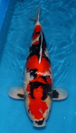 Showa Momotaro 66cm Gosai Female