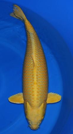Yamabucki Izumiya 87cm Female