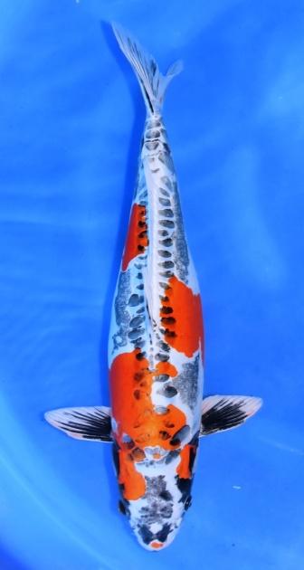 Benikikokuryu Ikarashi 49cm Sansai Female