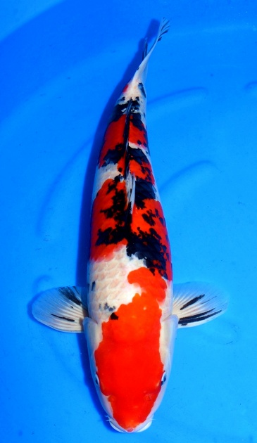 Sanke Crownfish 65cm Sansai Female HQ